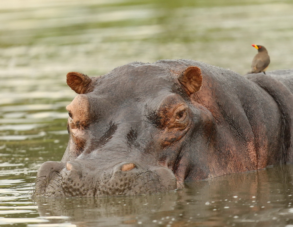 Hippopotamus is the only surviving member of the hippopotamidae family.
