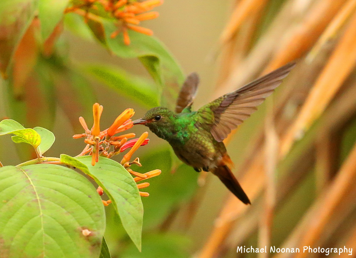 hummingbirds_B01Q2055cse