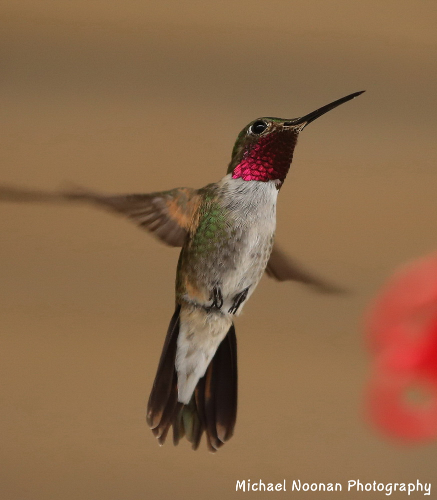 hummingbirds_B01Q3814c