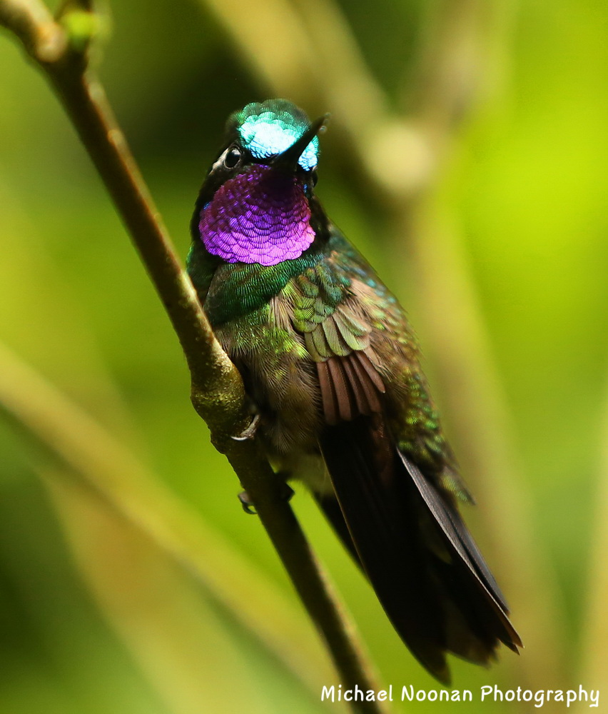 hummingbirds_B01Q5891csh