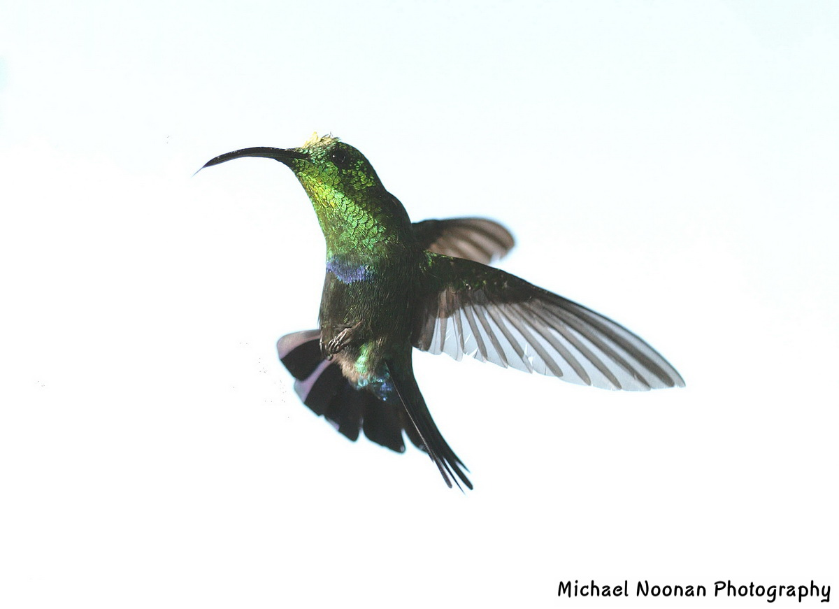 hummingbirds_XT4B7448d