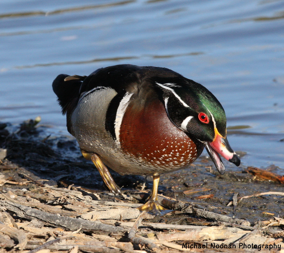 wood_ducks_1V5Z9250