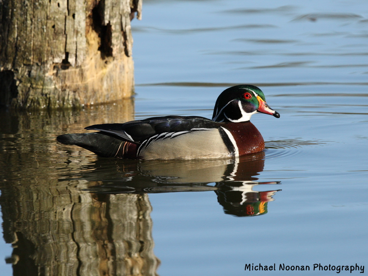 wood_ducks_1V5Z9433