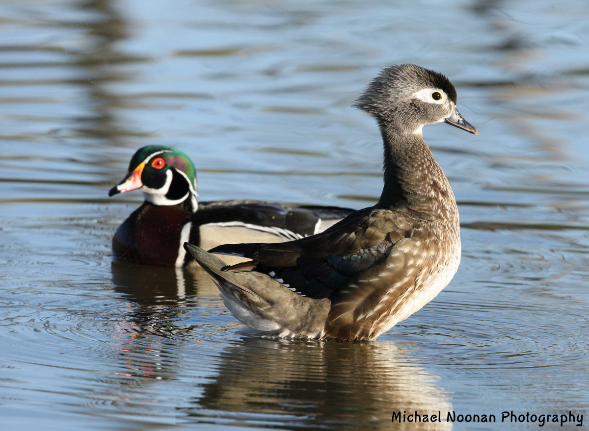 wood_ducks_1V5Z9436