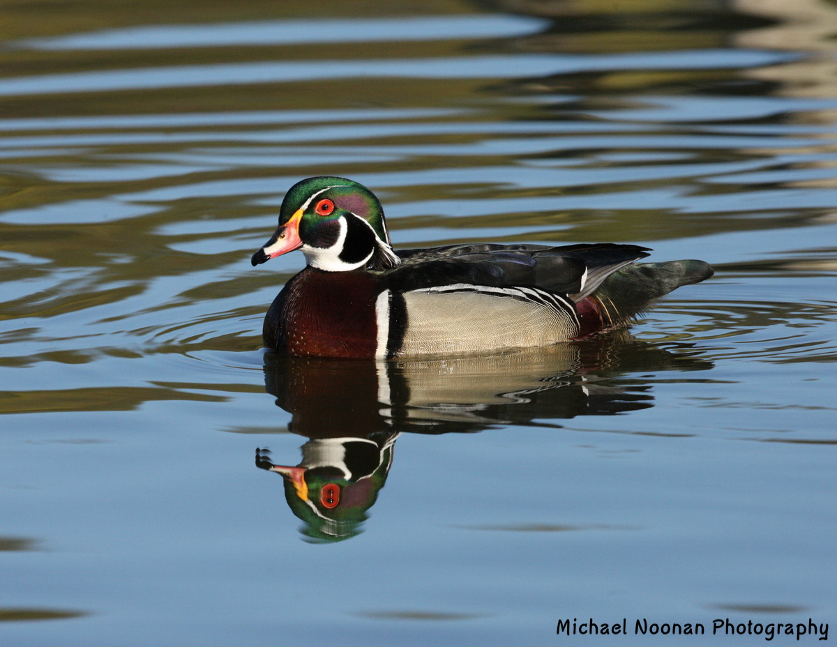 wood_ducks_1V5Z9444