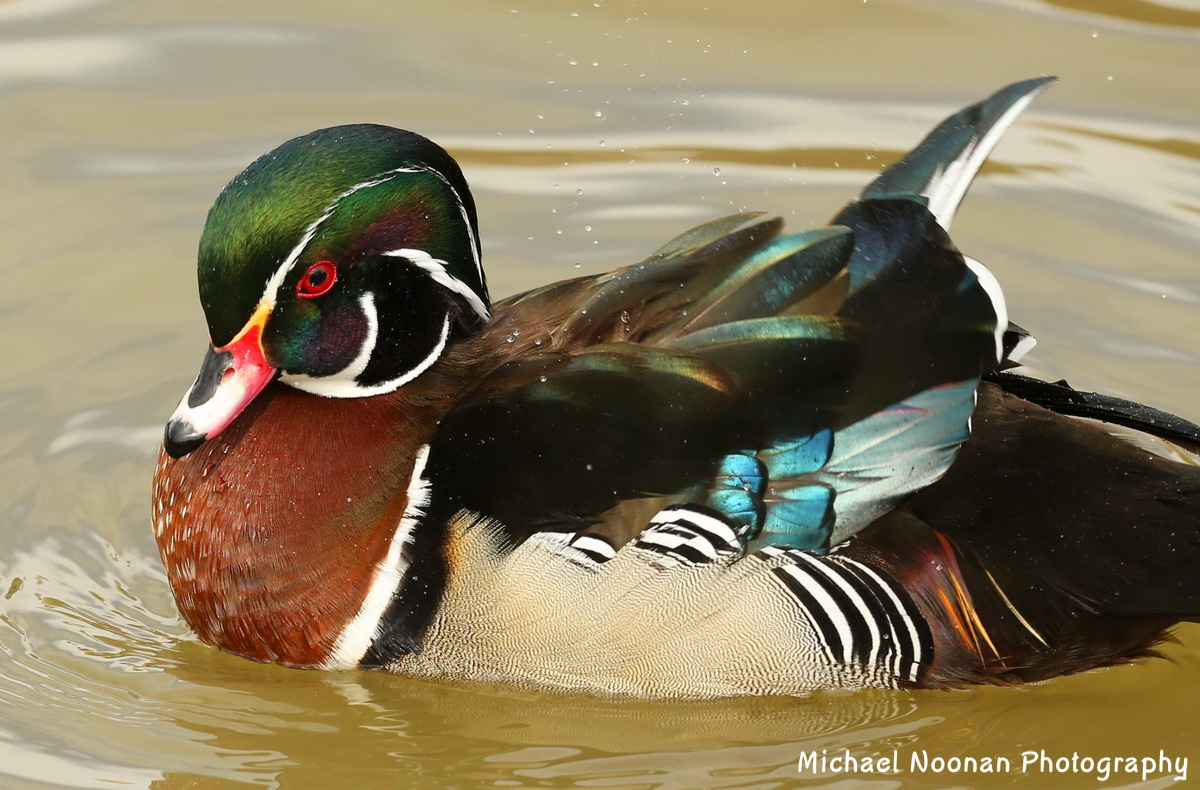 wood_ducks_B01Q6416ch