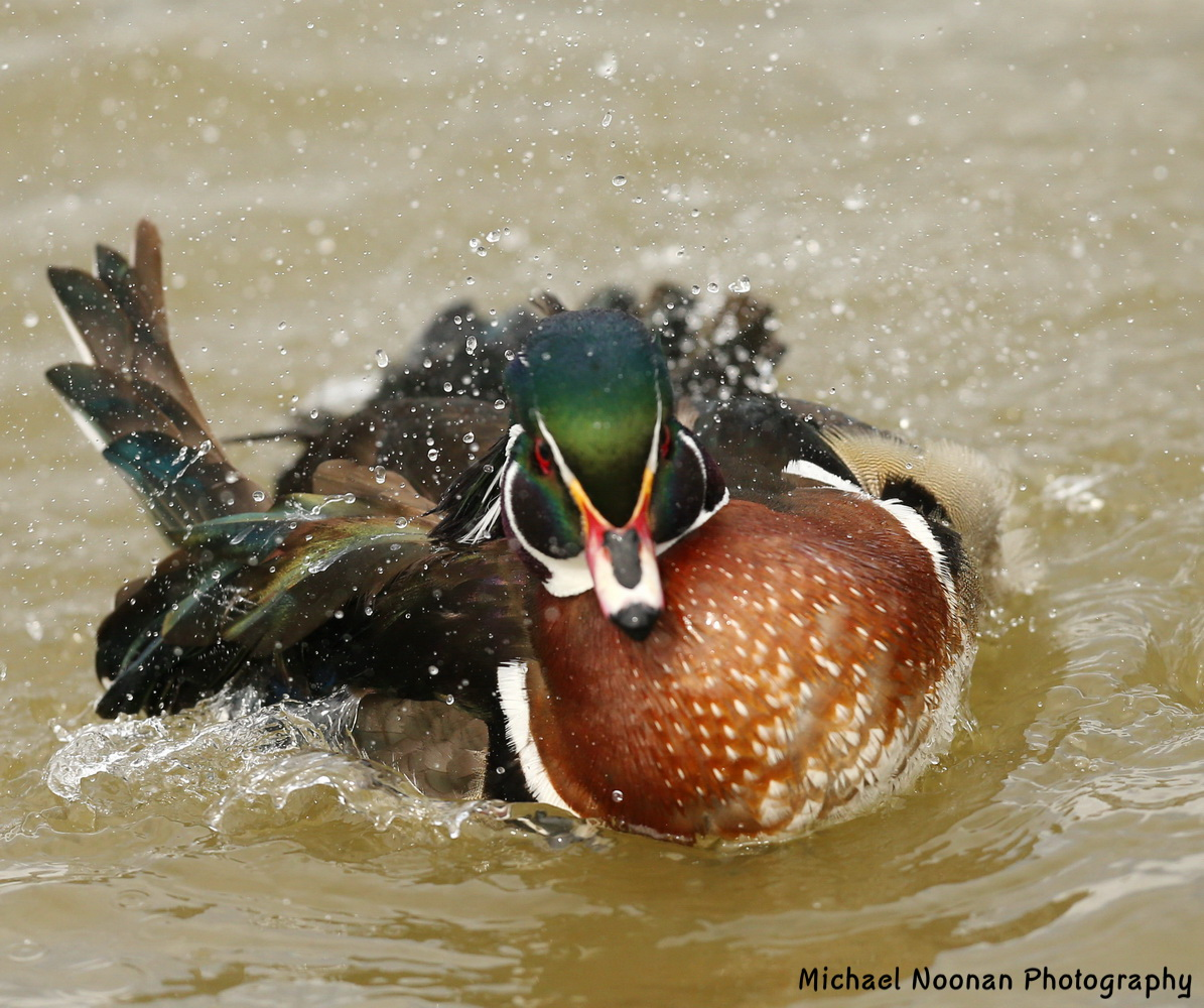wood_ducks_B01Q6450che