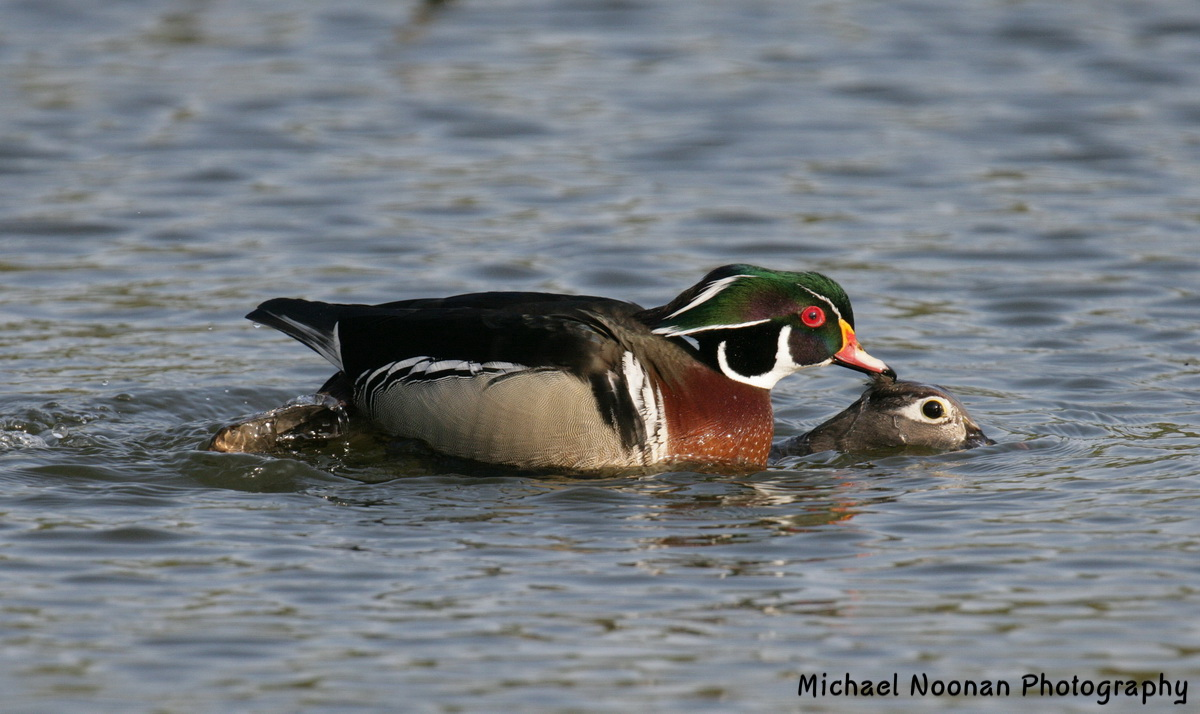 wood_ducks_XT4B2880
