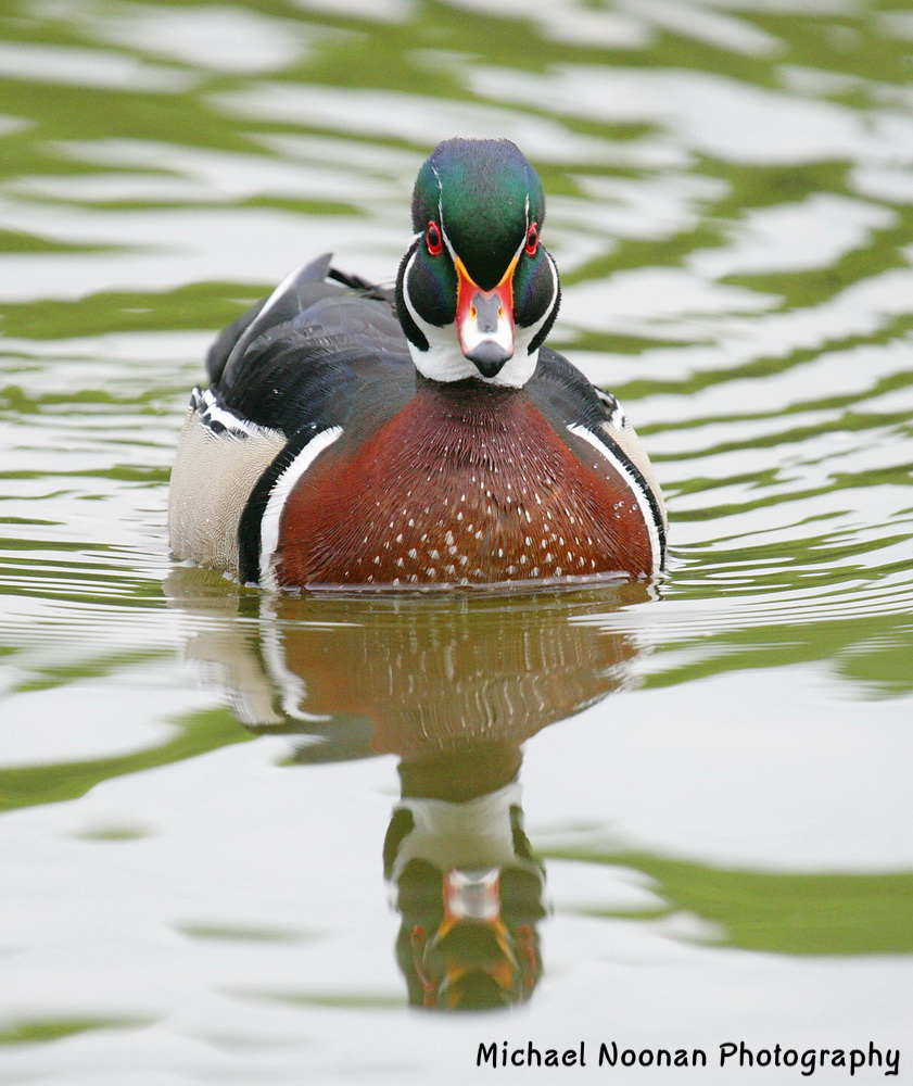 wood_ducks_XT4B5121cshe