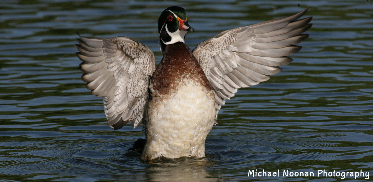 wood_ducks_XT4B6222